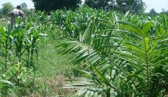 A Colombian worker surrounded by young African palm trees (Credit: CIMMYT)