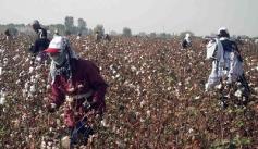 2014 Uzbek cotton harvest